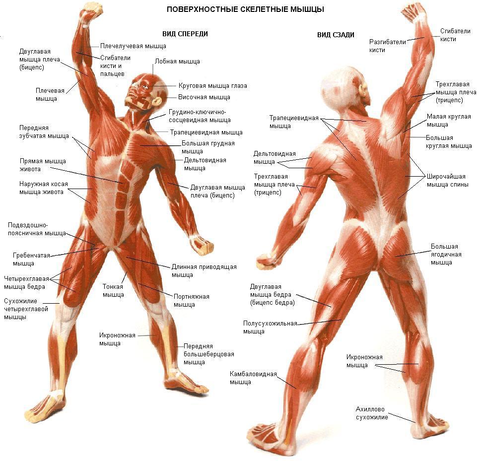 Рисунок мышц с названиями