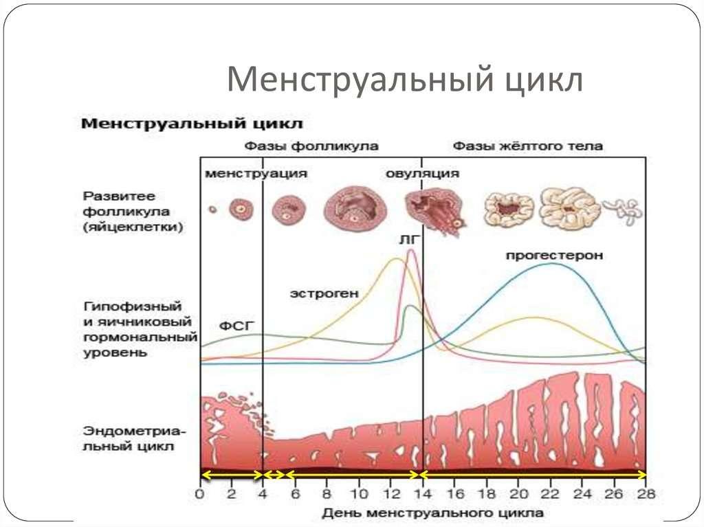 Диета по фазам менструального цикла: 4 типа питания.